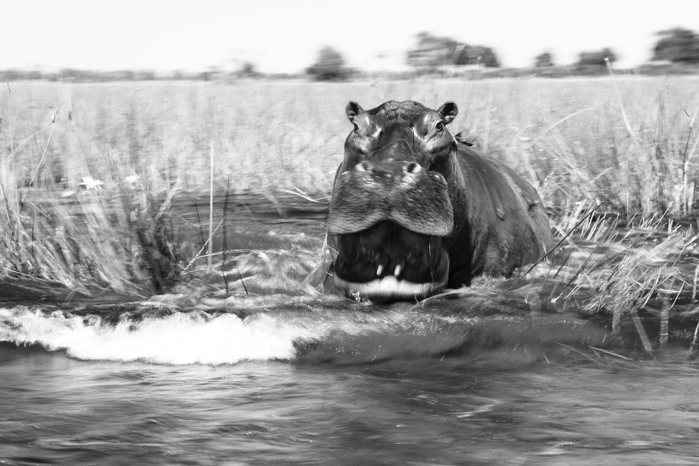 Hippo Charge by Gareth Earl Roberts