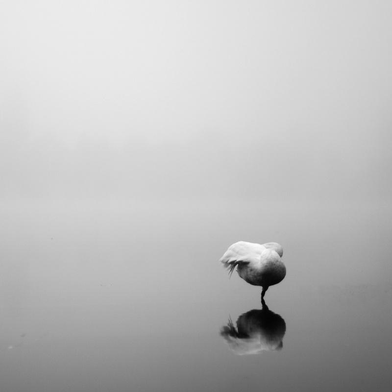 swan by ivan domjanović