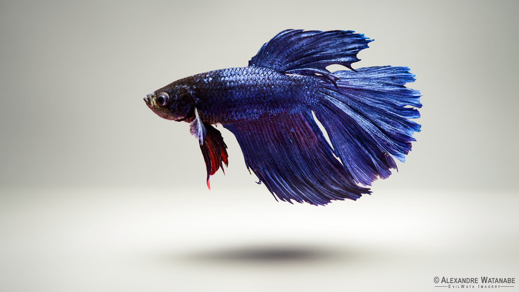Siamese Fighting Fish by Alexandre Watanabe