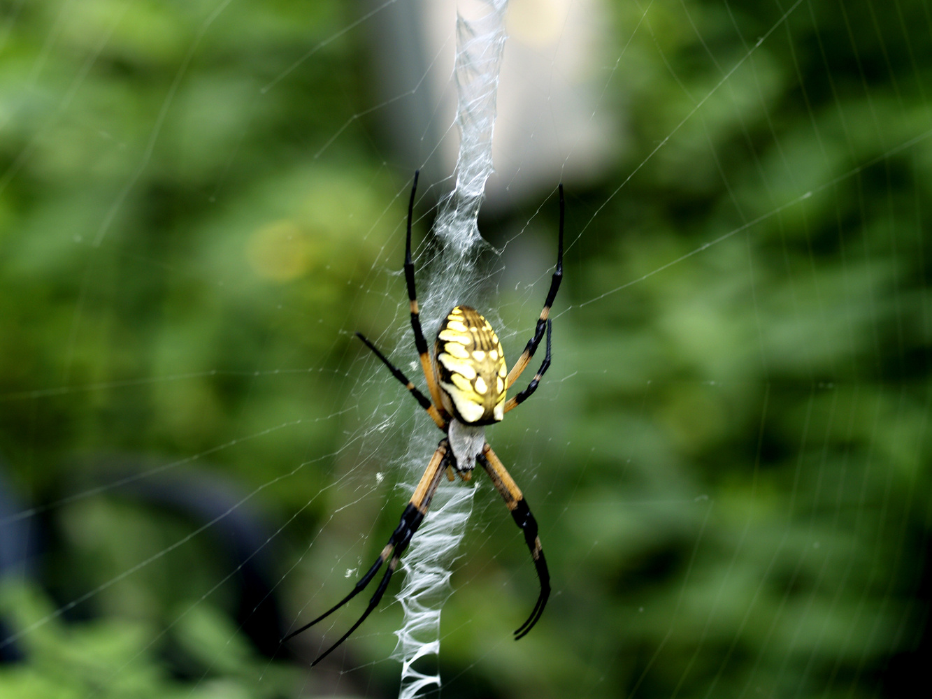 Black and Yellow Spider by Archie Plump