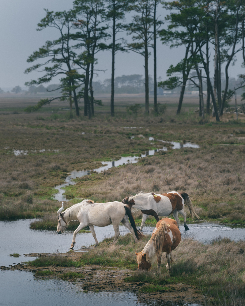 Chincoteague Ponies by Oksana Kemp