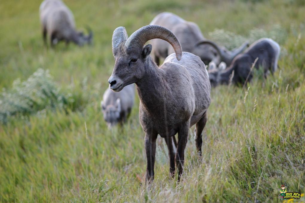 Bighorn Sheep by Allan Johnson