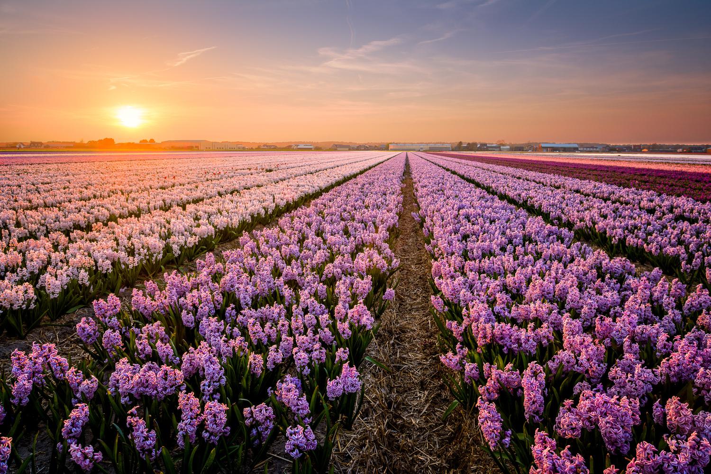 Hyacinthetic by Martijn van der Nat
