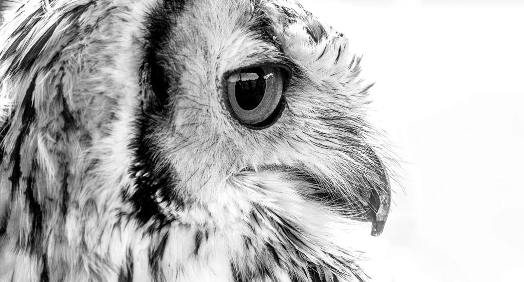 Persian Owl by Mark Davies