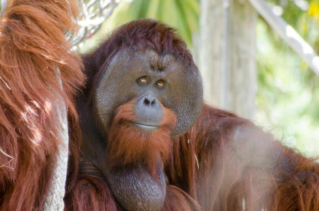 Orangutan Watching Over His Family by Miguel Feliciano