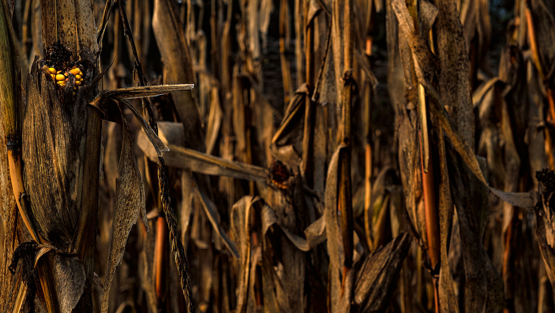 Corn by Mik Pol