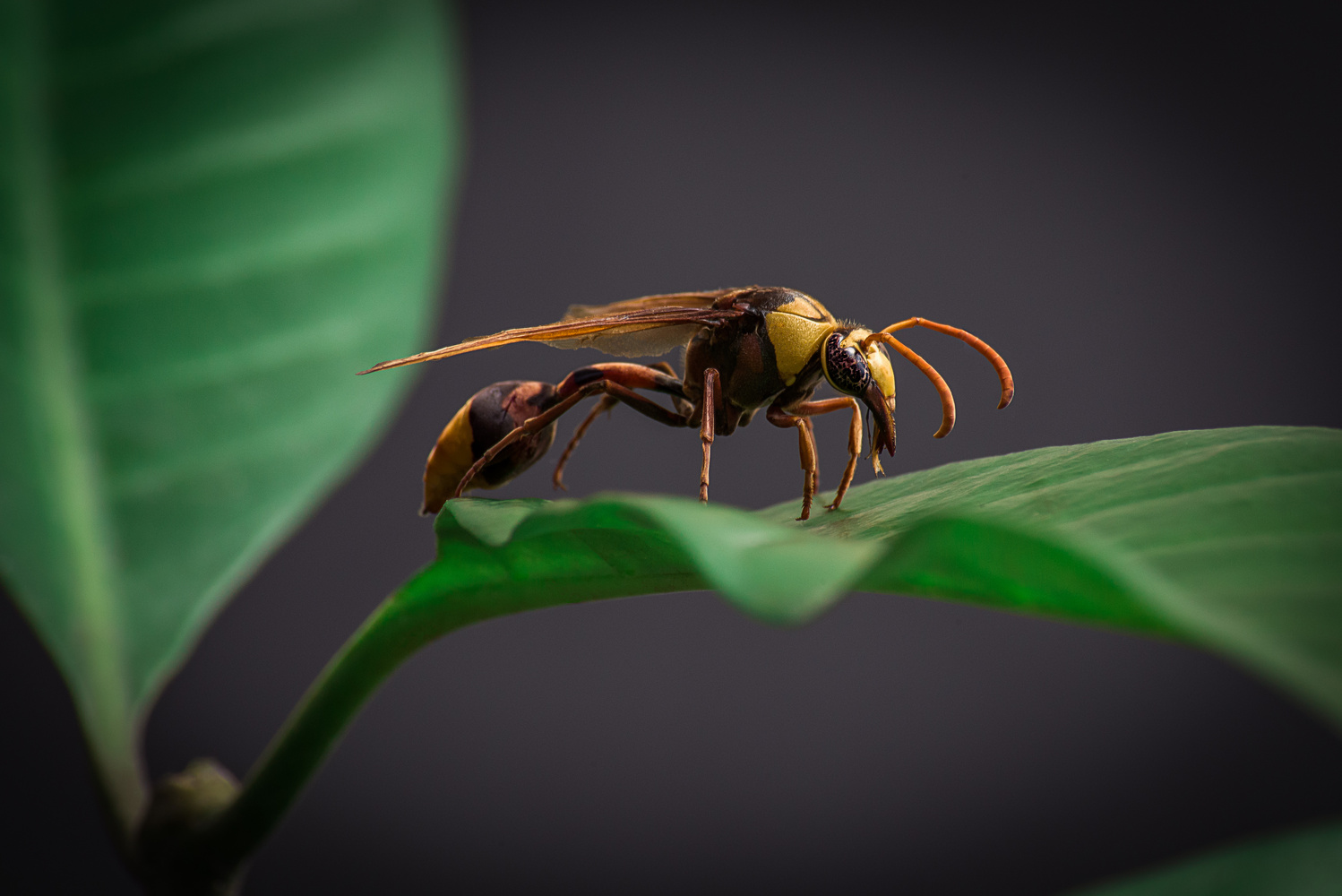 Asian Wasp by Brenden King