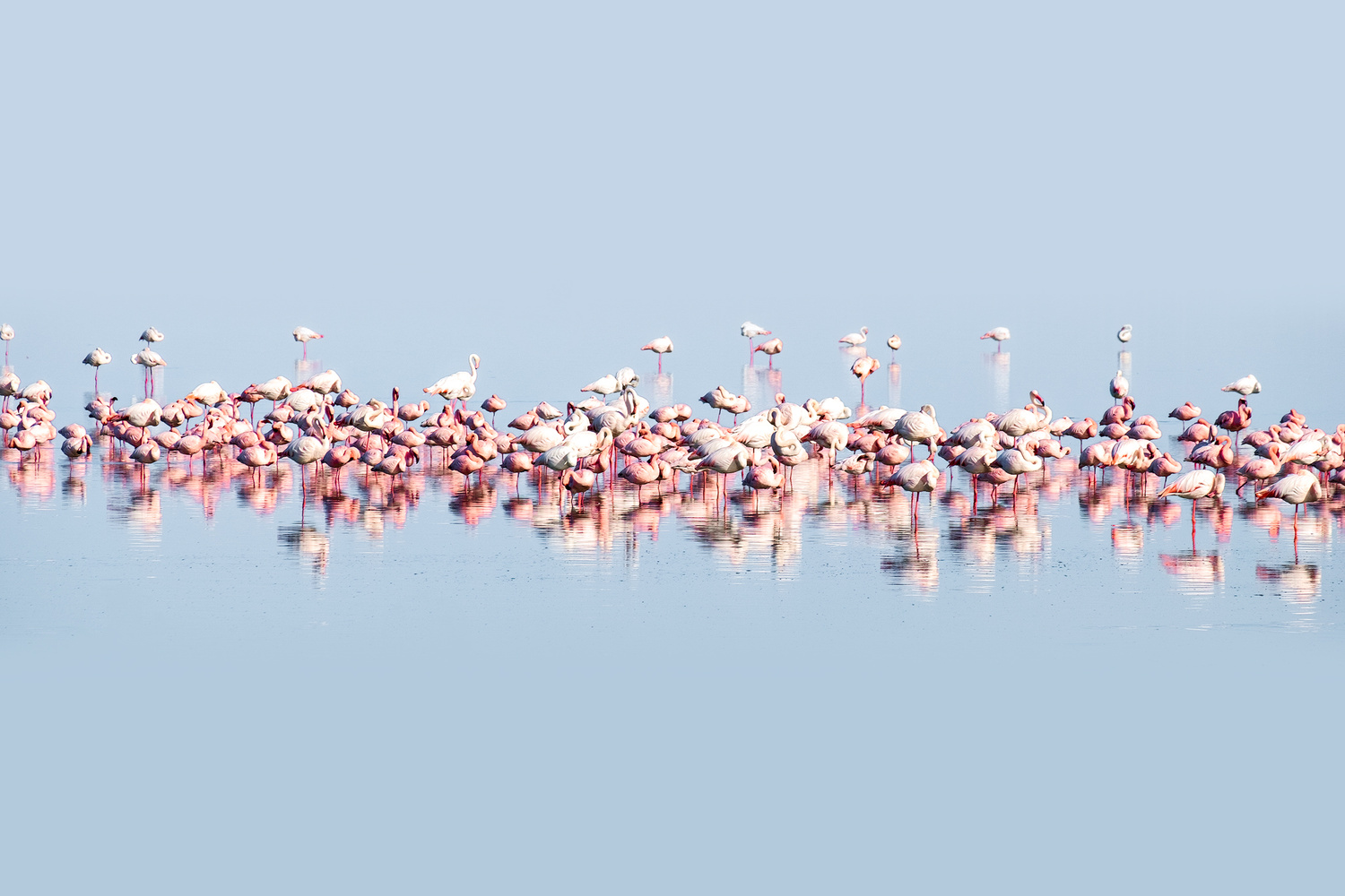 Flamingoes by Andrea Re Depaolini