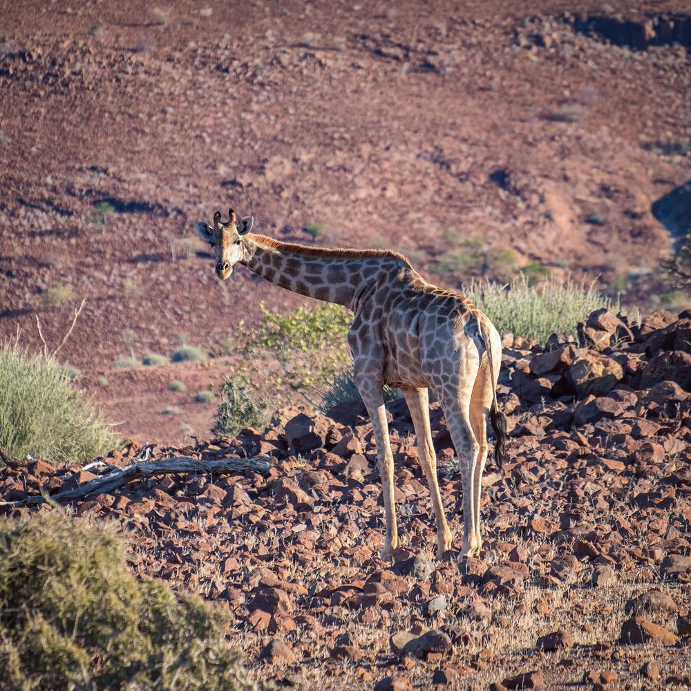 Giraffe by Andrea Re Depaolini