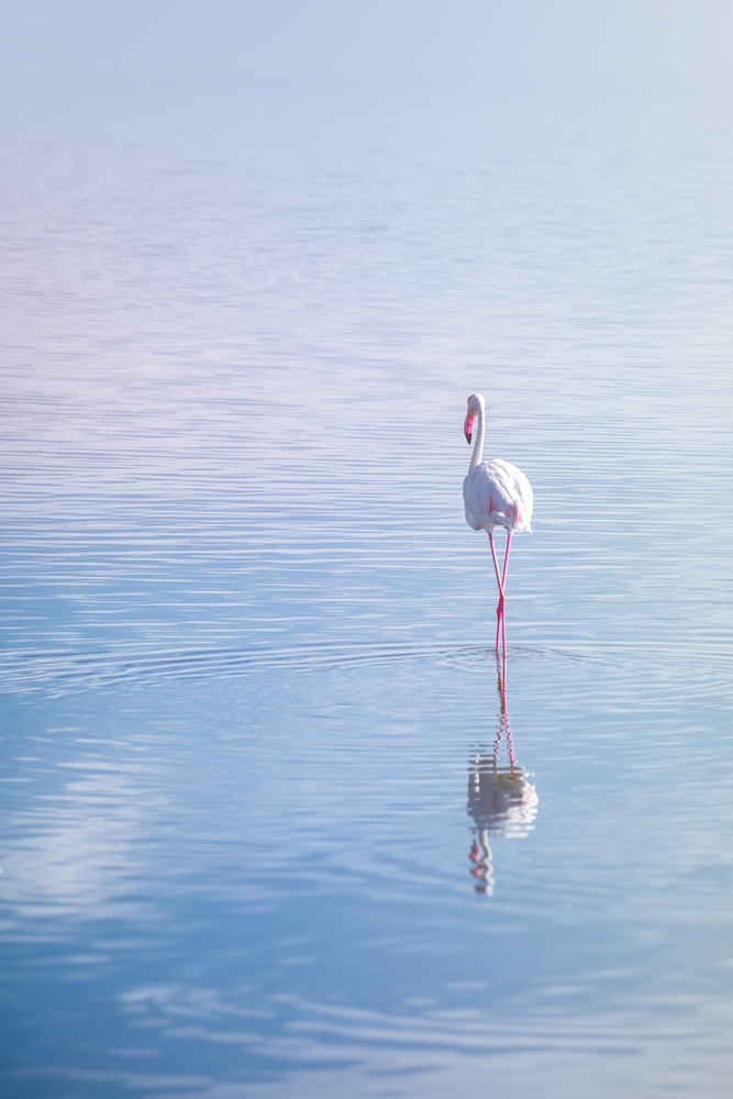 Flamingo by Andrea Re Depaolini