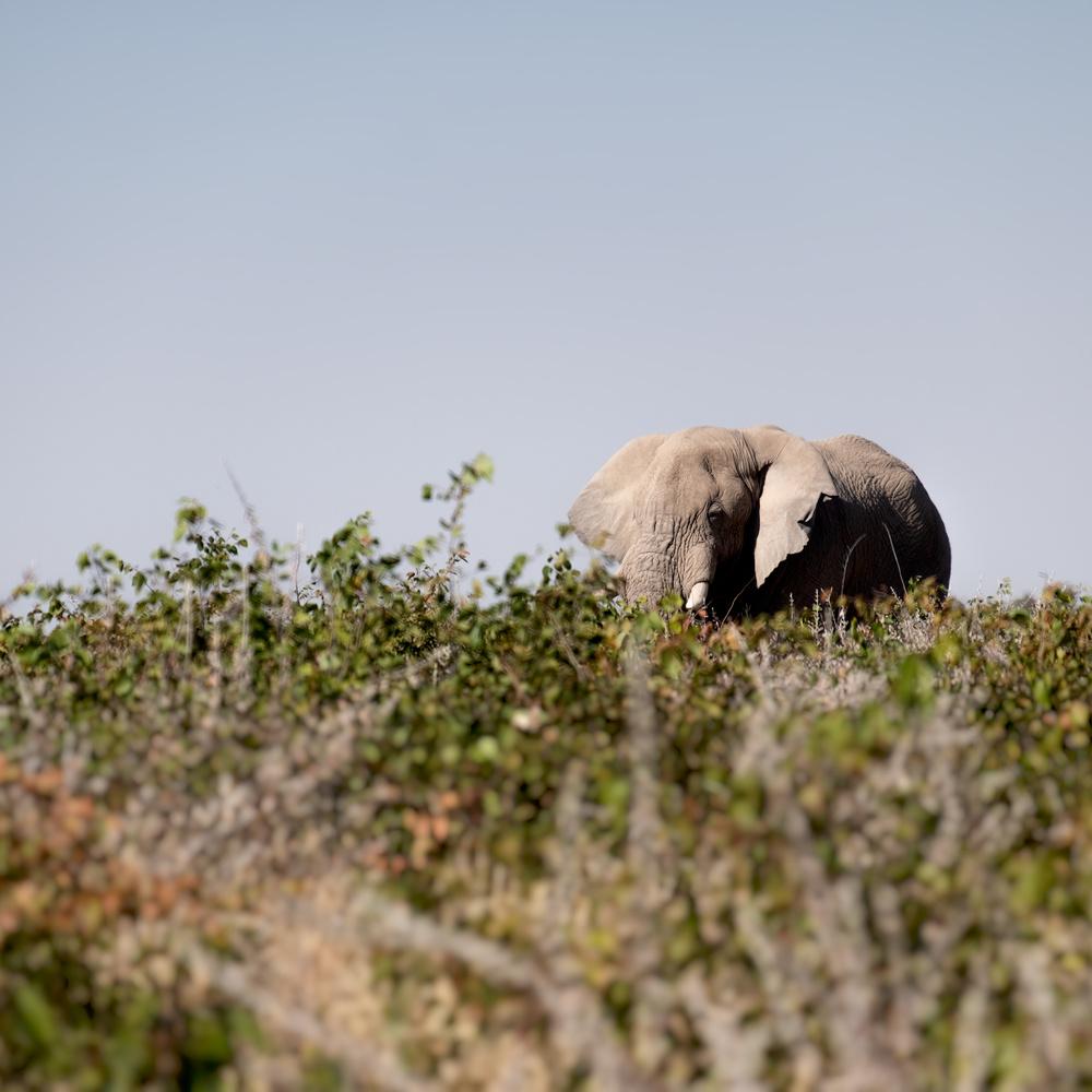 Elephant peeking by Andrea Re Depaolini