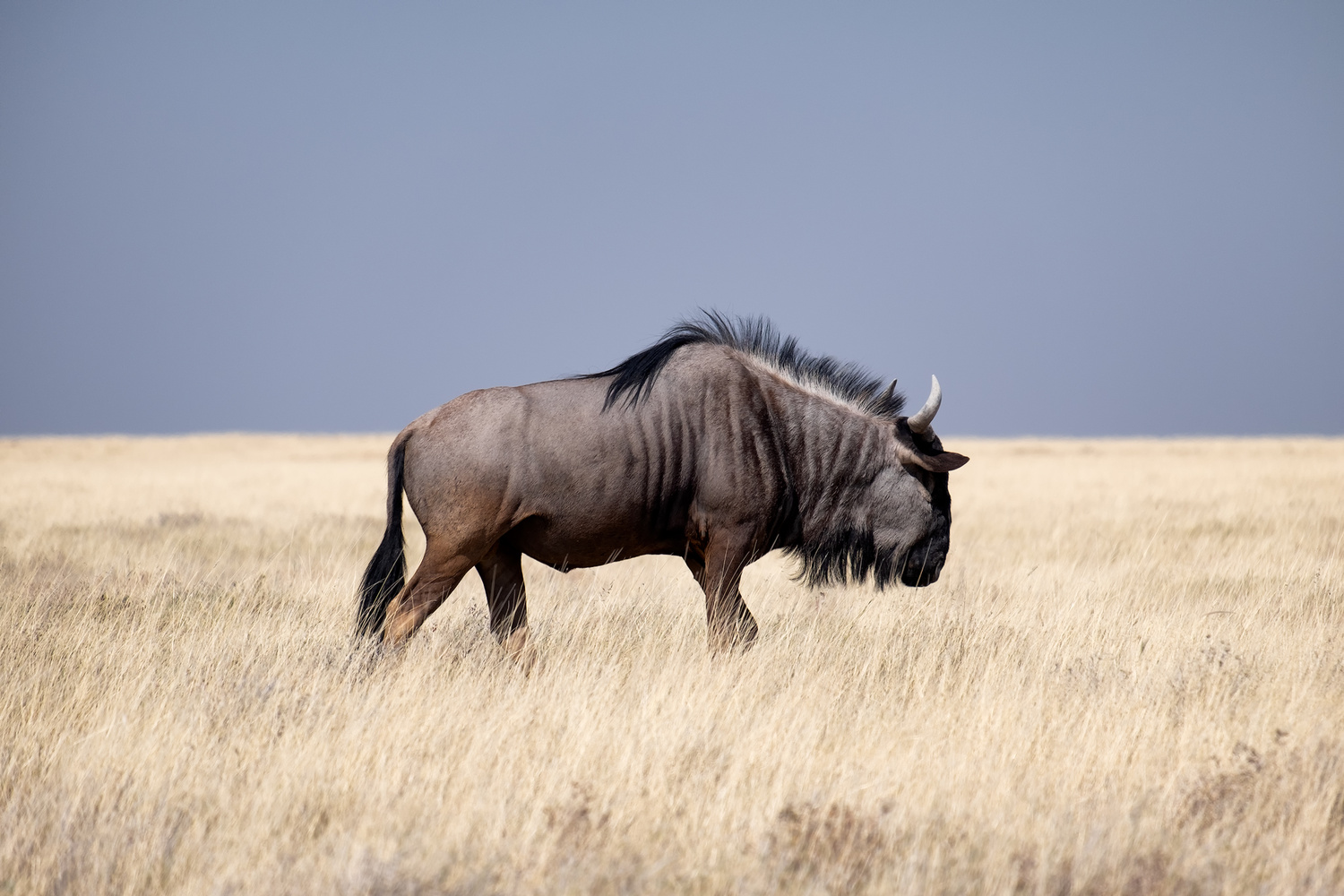 Wildebeest by Andrea Re Depaolini