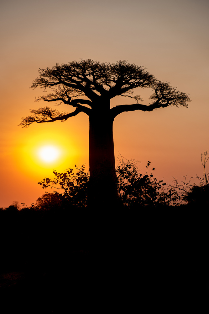The Baobab by Andrea Re Depaolini