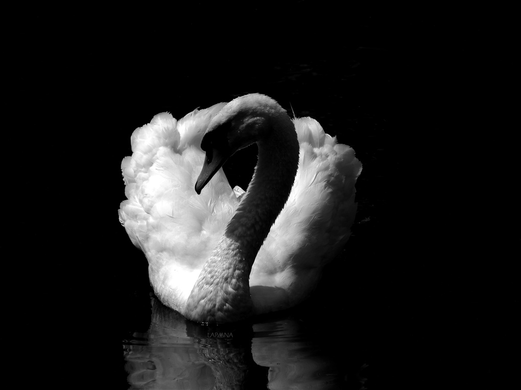Swan by ANA LAPA