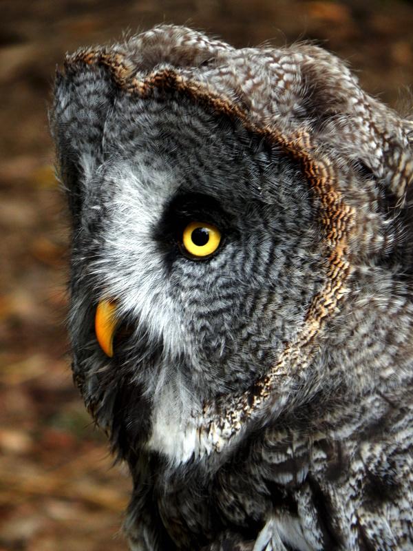 Powerfull Owl by ANA LAPA