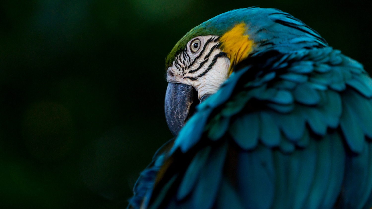 Blue-and-yellow Macaw by Andreas Mariotti
