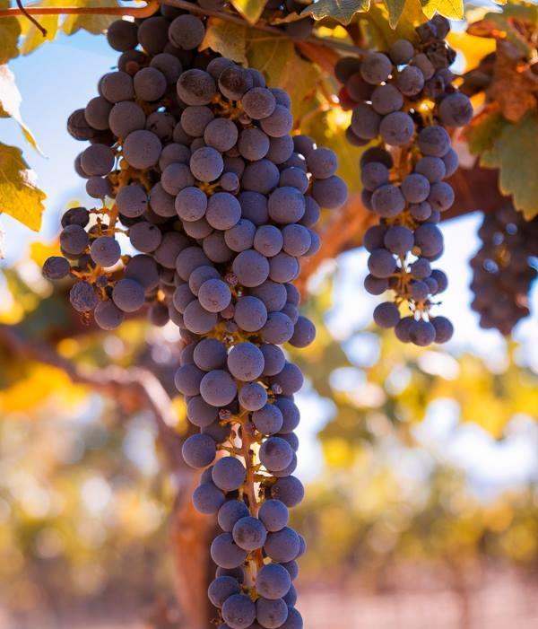 Ready for Harvest by Roger Elliott