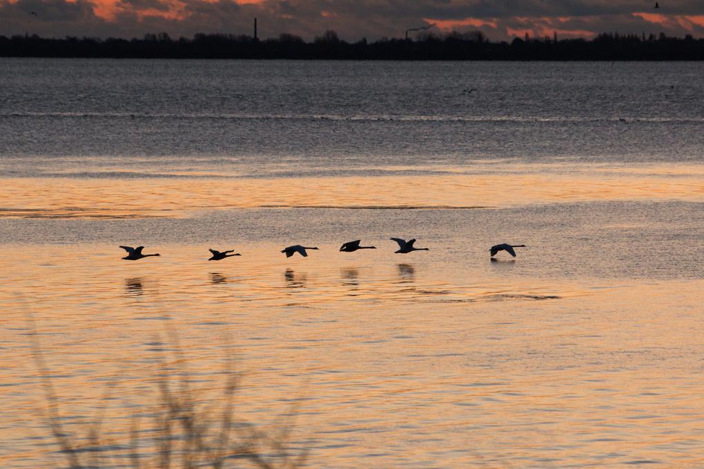 Swans in the morning sun by Teis Aufeldt