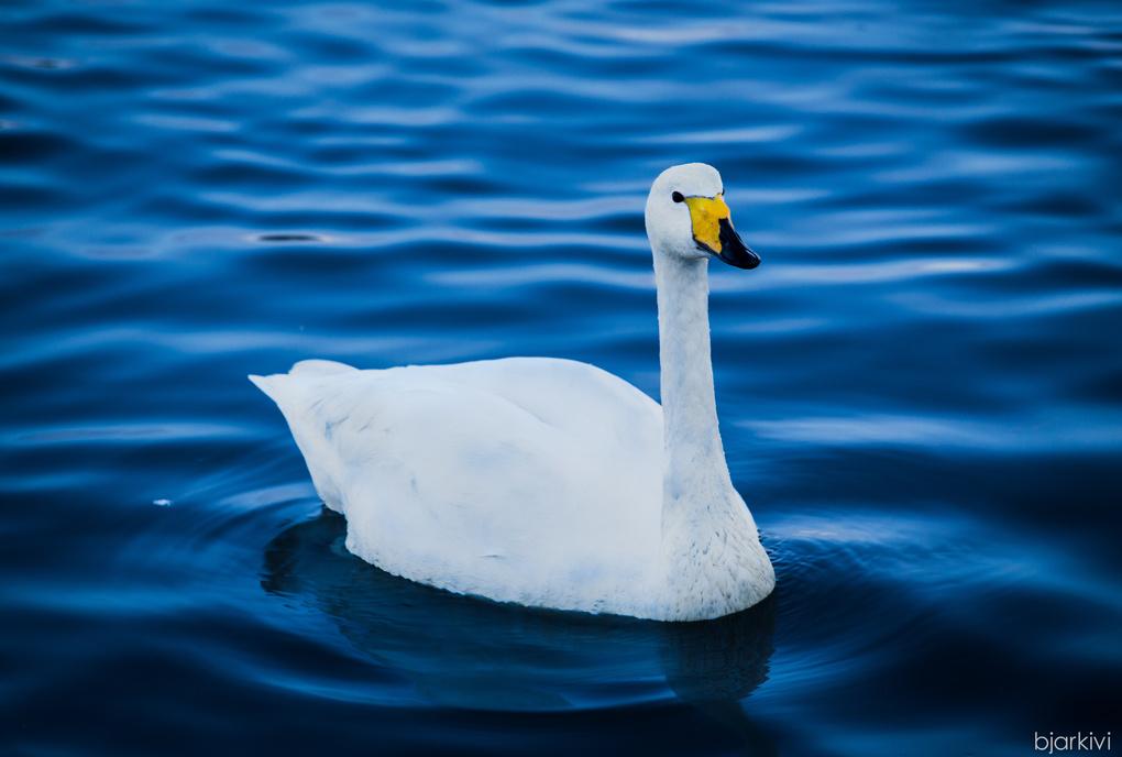 Swan revisited by Bjarki Vilmarsson