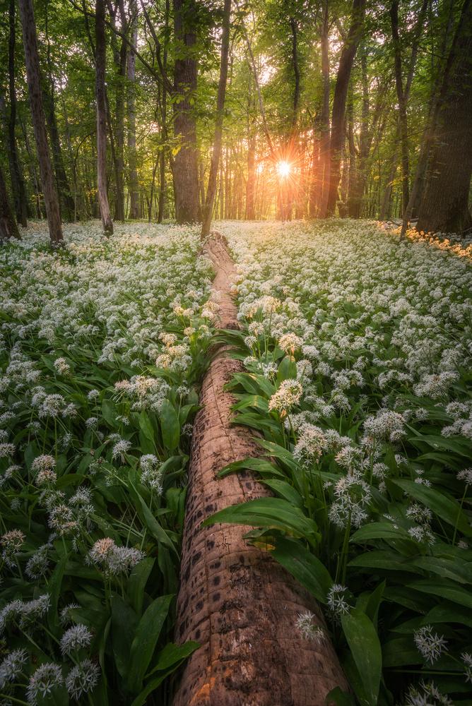 Wild Garlic by Philip Slotte