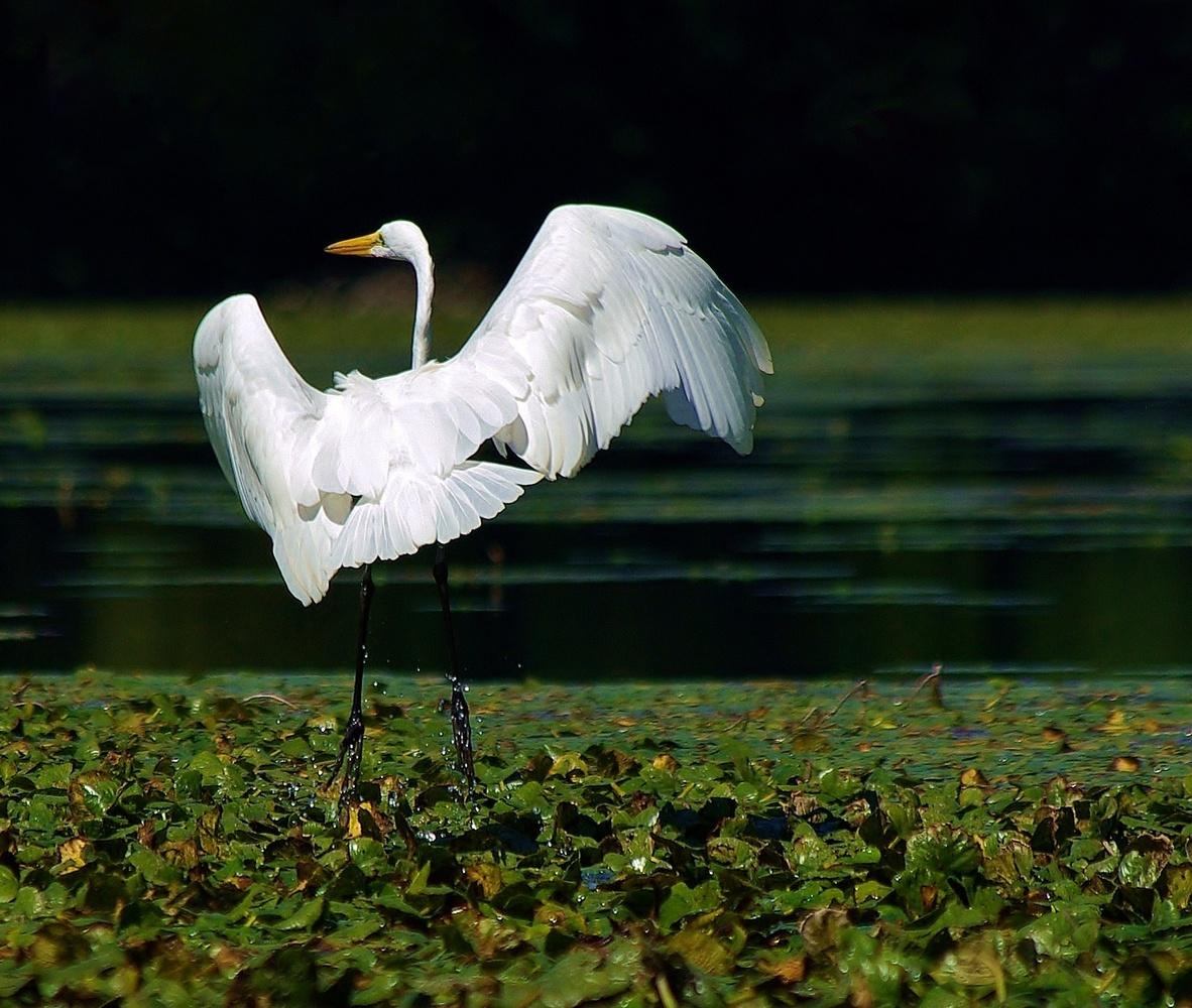 Dancing Egret by James Mlodynia