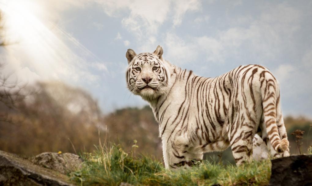 White Tiger. by Joshua Pitt