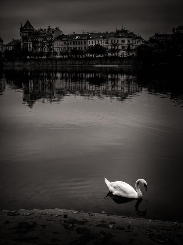 Prague swan by Trent Cooper