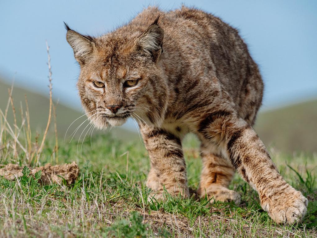Sunol Bobcat by Kevin Shoban