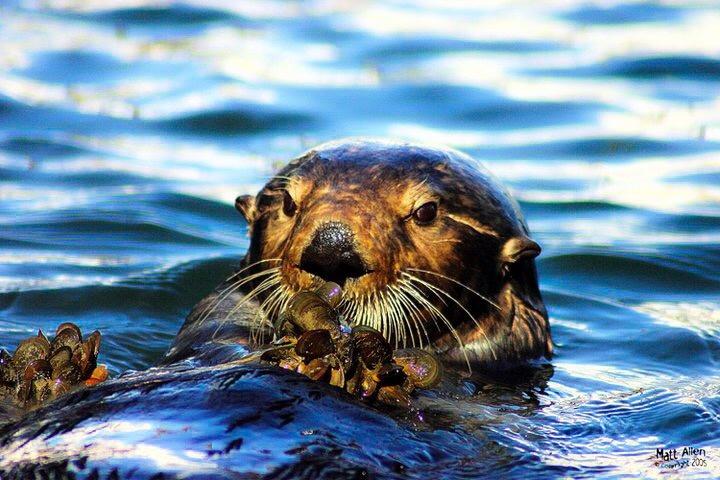 Otter meal by Matt Allen