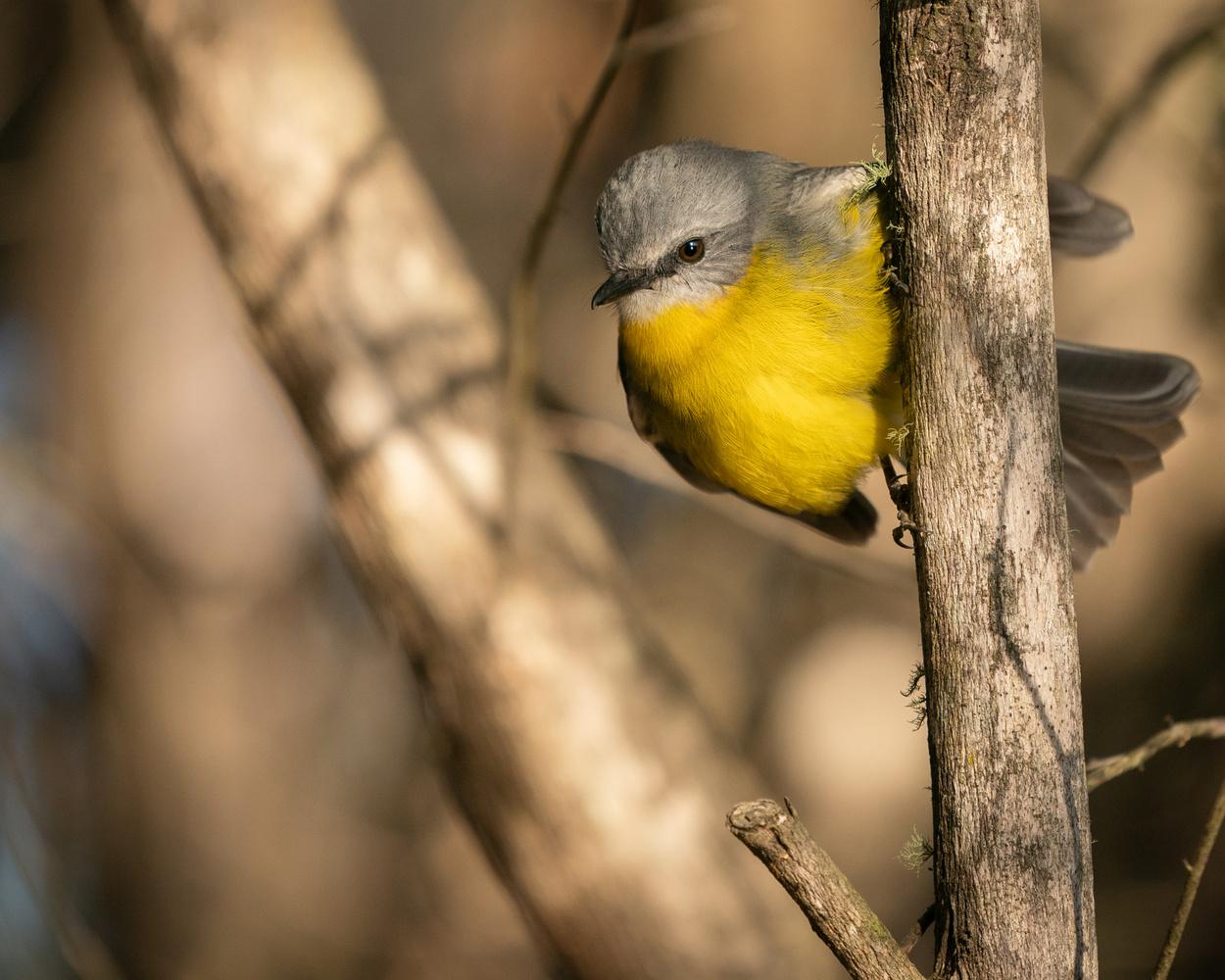 The Eastern Yellow Robin by Daniel van Duinkerken