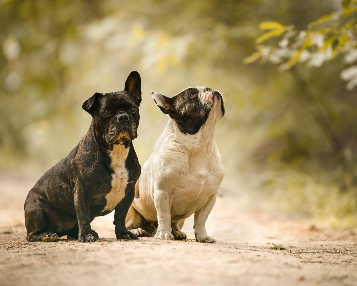French Bulldog duo by Daniel van Duinkerken