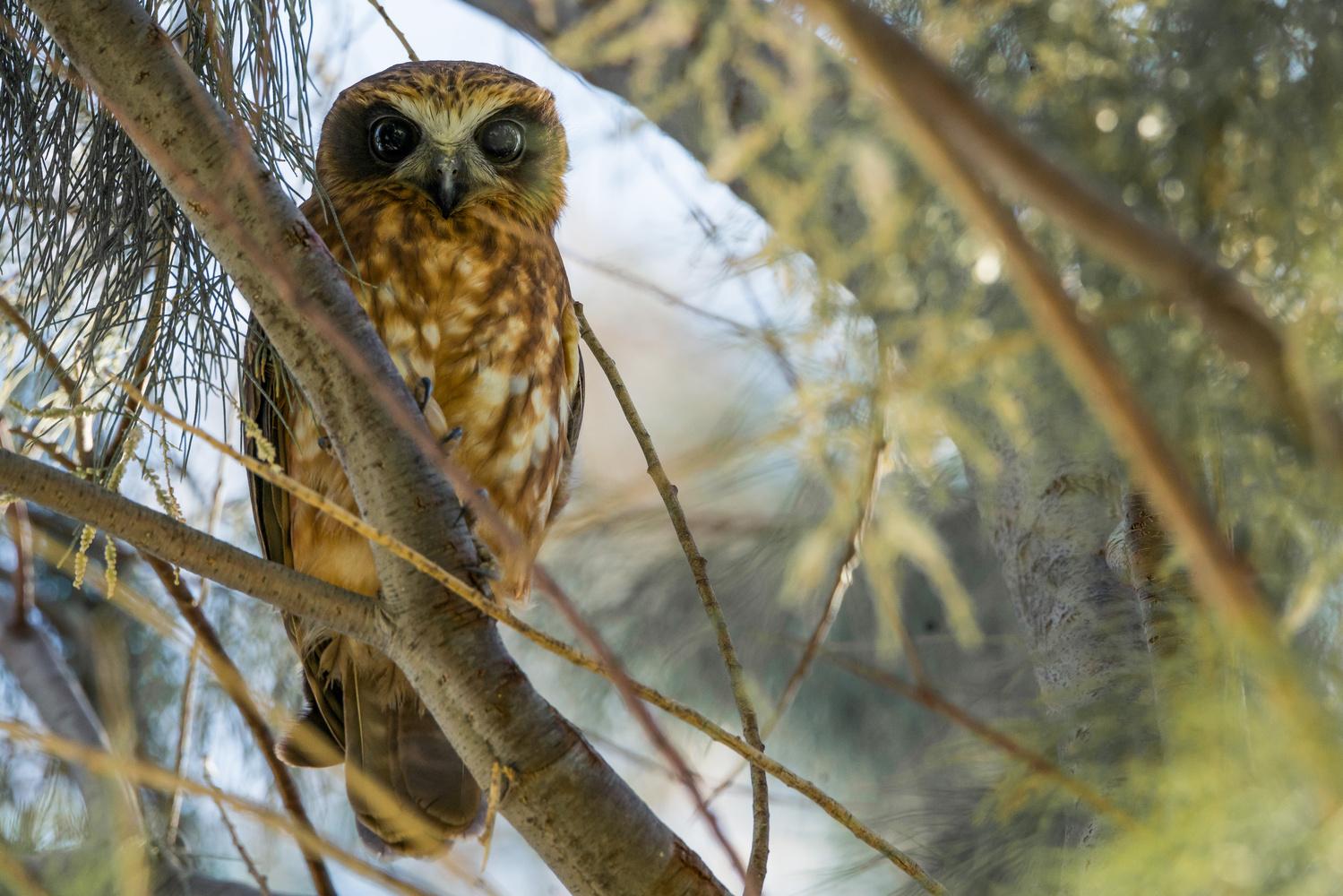 Boobook Owl by Daniel van Duinkerken