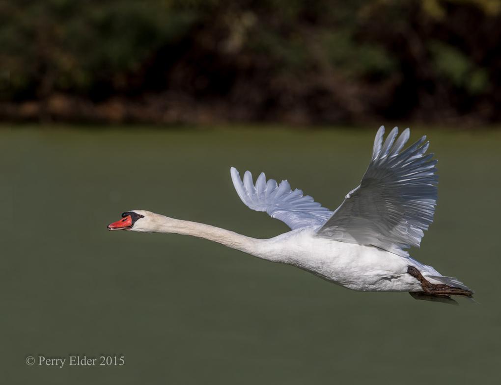 Mute Swan  by Perry Elder