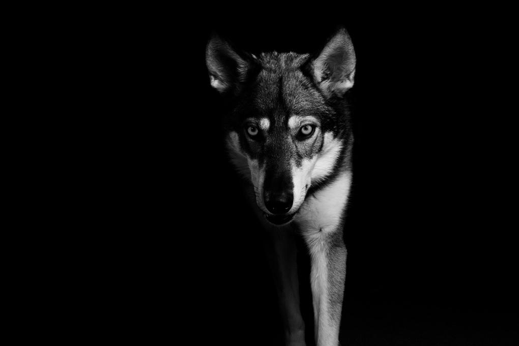 Wolf-Dog by Daniel Shepherd