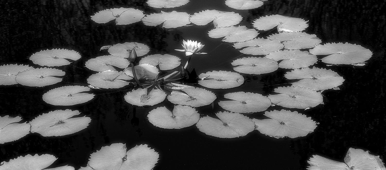B&W Lily Pads by Tim Thompson