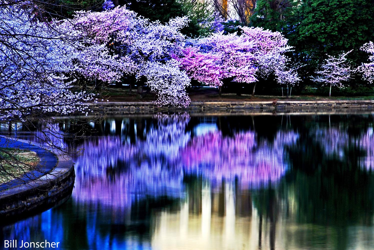Cherry Blossom reflections by Bill Jonscher