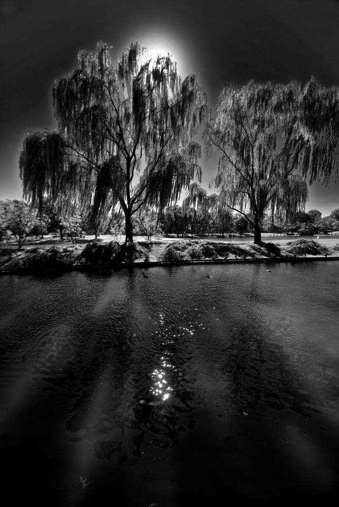 Constitution Gardens, willow trees by Bill Jonscher