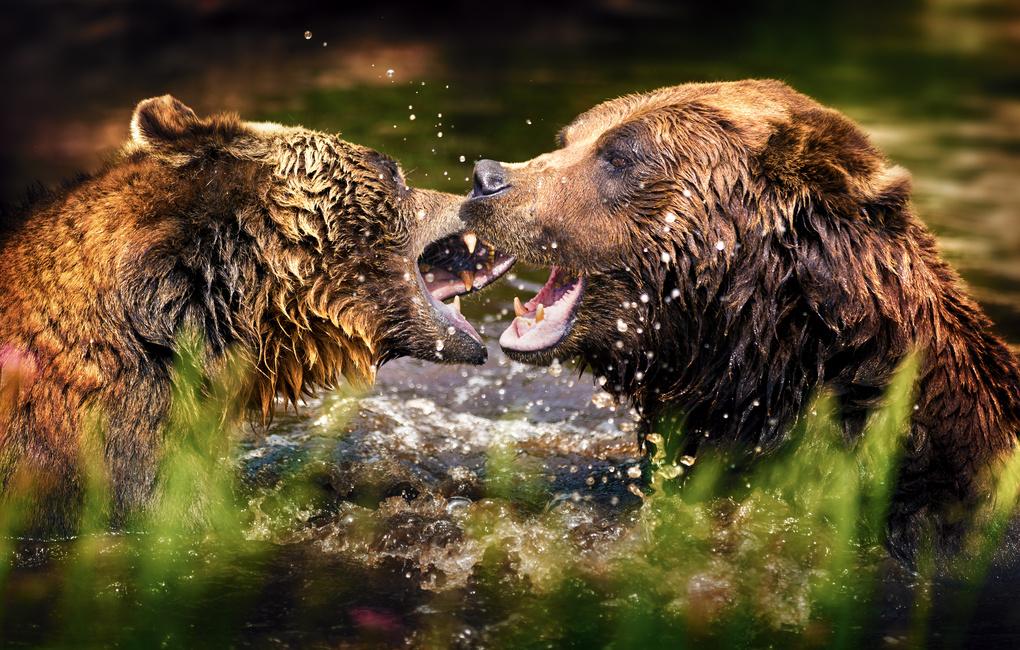 Brawling Bears by Jordan Stern