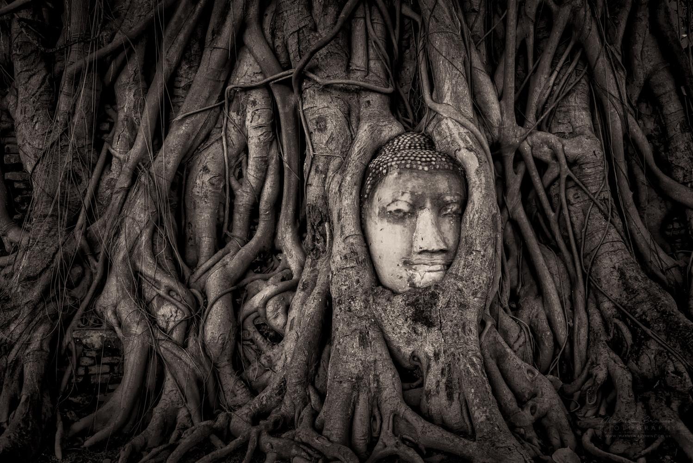 Buddha in a Banyan Tree - Wat Mahathat, Ayutthaya by Mathew Browne