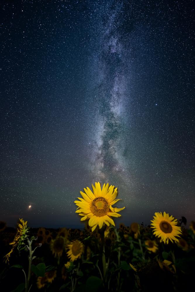 Rhossili Sunflowers at Night by Mathew Browne