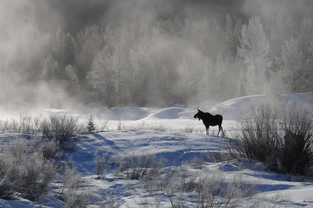 Moose at dawn by William Wood