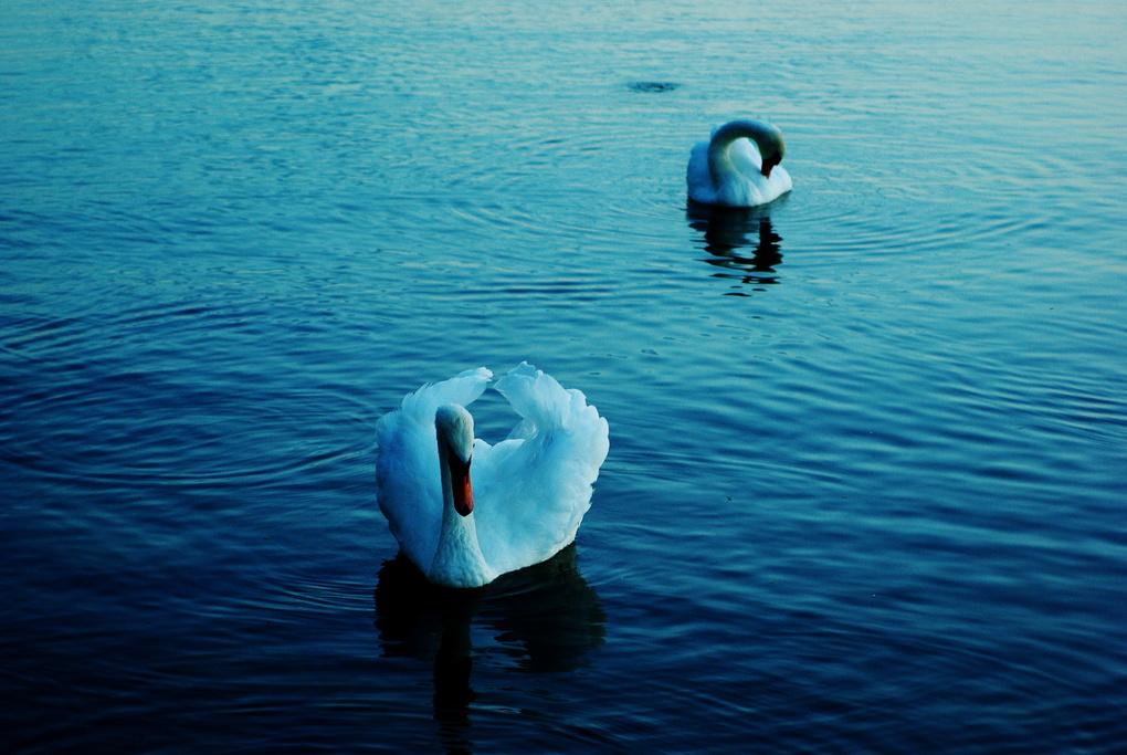 Swans  by Olev Luik