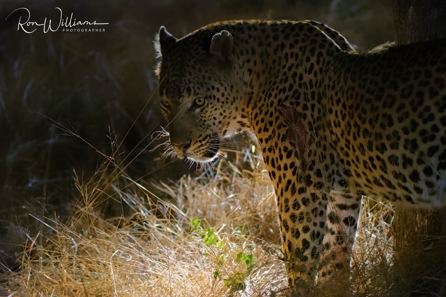 Leopard at night by Ron Williams