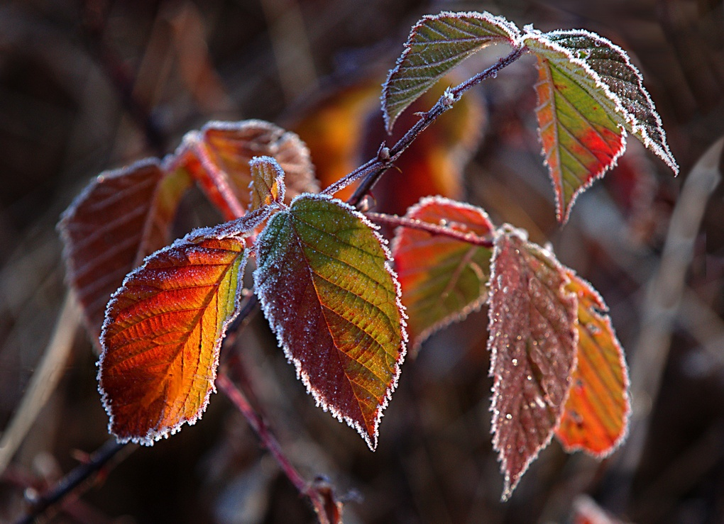 Frosty Leaves by Mike Brint