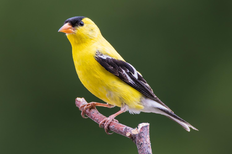 Goldfinch by Rick Wieseler