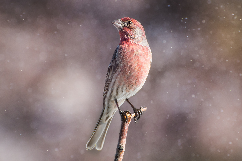 Dream Finch by Rick Wieseler