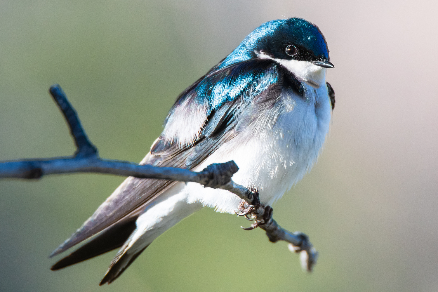 Tree Swallow by Rick Wieseler