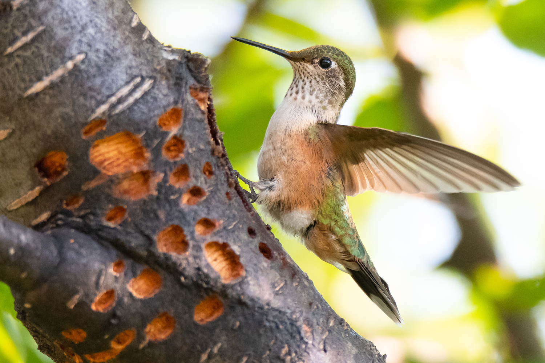 Hummingbird at Sap Well by Rick Wieseler