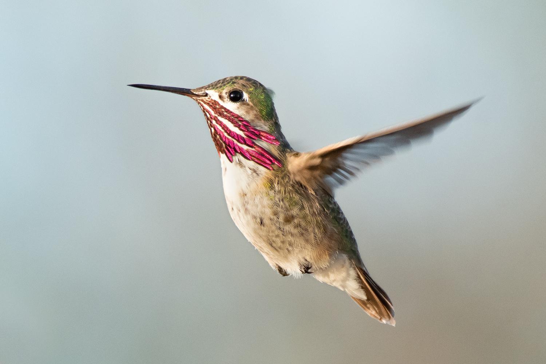 Calliope HummingBird by Rick Wieseler