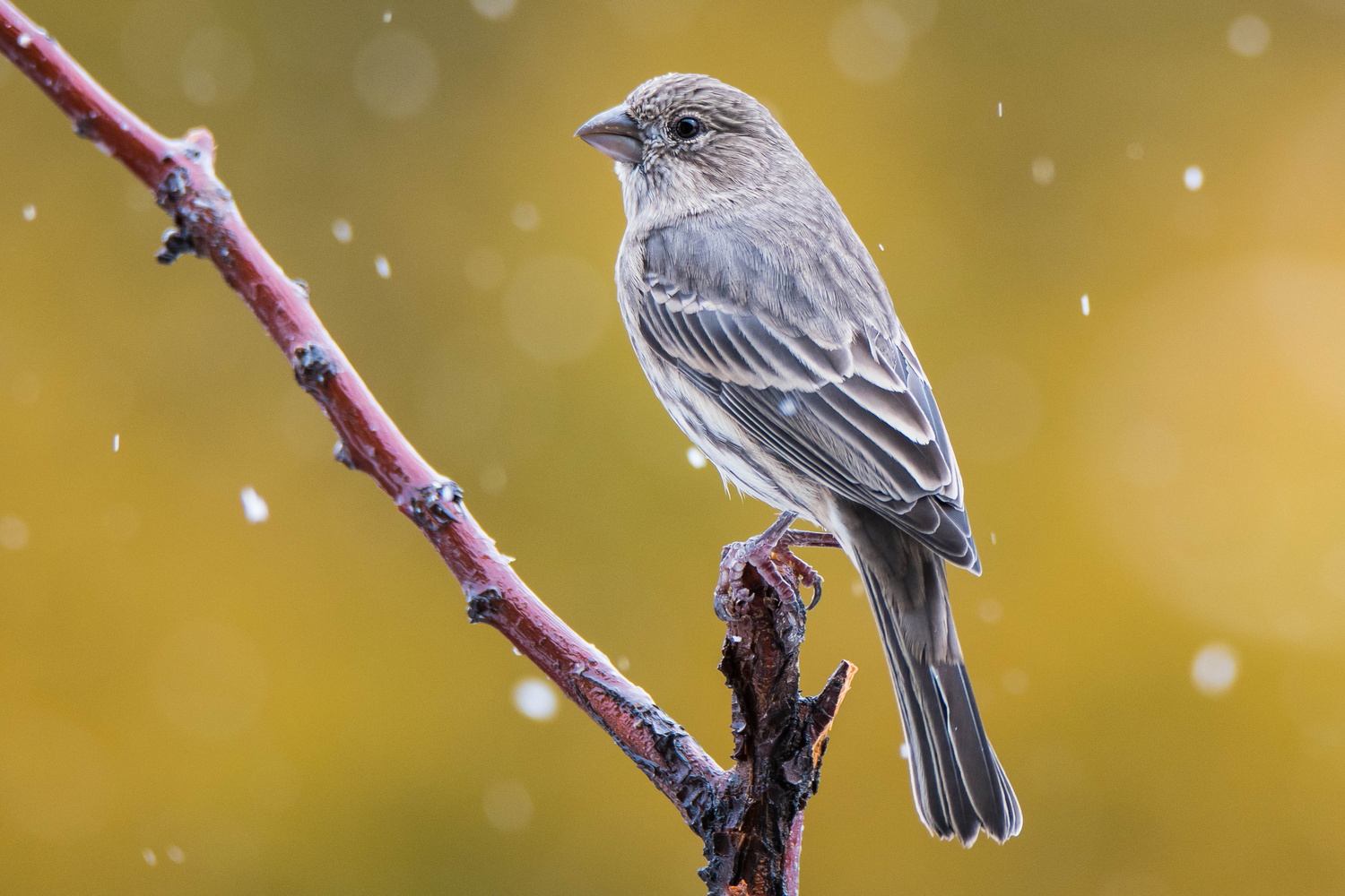 Finch's First Snow by Rick Wieseler
